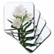 click on Oleander White - white, flower, tree, oleander, blossom, tropical plant, buds to enlarge!