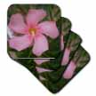 click on Pink Oleander - pink, flower, tree, oleander, blossom, tropical plant, buds to enlarge!