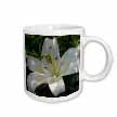 click on White Lily - may birth flower, birth flower, lily, lilies, lilium, flowering plants, plants to enlarge!