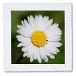 click on Daisies Wild - common daisy, daisy, dasies, oxeye daisy, dog daisy, margarite, moon daisy to enlarge!