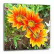 click on Gazania Trio - flower, flowers, gazania, gazanias, asteraceae, blanket flower, treasure flower to enlarge!